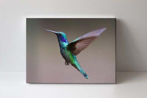 Kolibřík fotoobraz